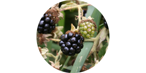 Blackberry (TPA)