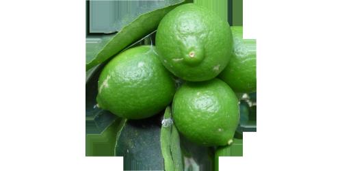 Persian Lime (VTRN)