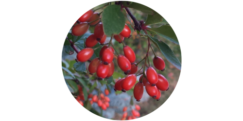 Barberry (Berberis) (Baker)