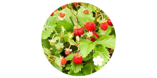 Alpine Strawberry (FLV)