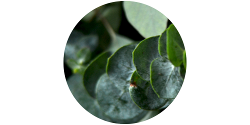 Eucalyptus and Mint (MB)